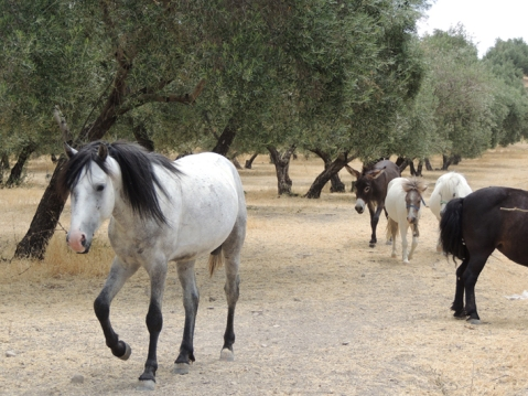 Paarden op het land