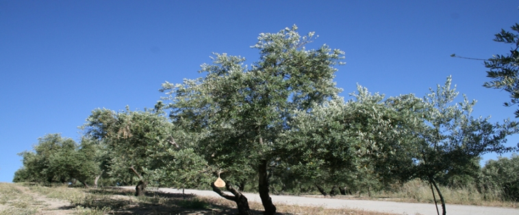 Olijfboomgaard-blauwelucht